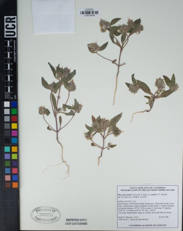 Phacelia humilis var. dudleyi image