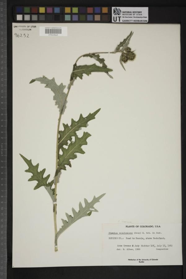 Cirsium scabrum image