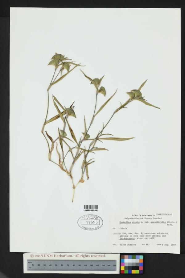 Commelina dianthifolia var. longispatha image