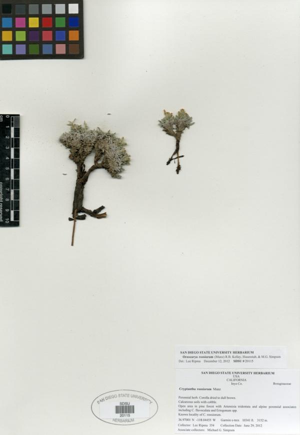 Oreocarya roosiorum image