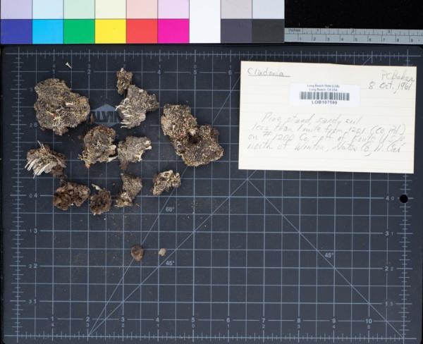 Cladonia image