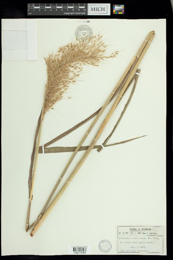 Erianthus laxus image