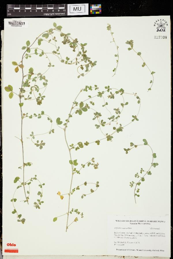 Trifolium micranthum image