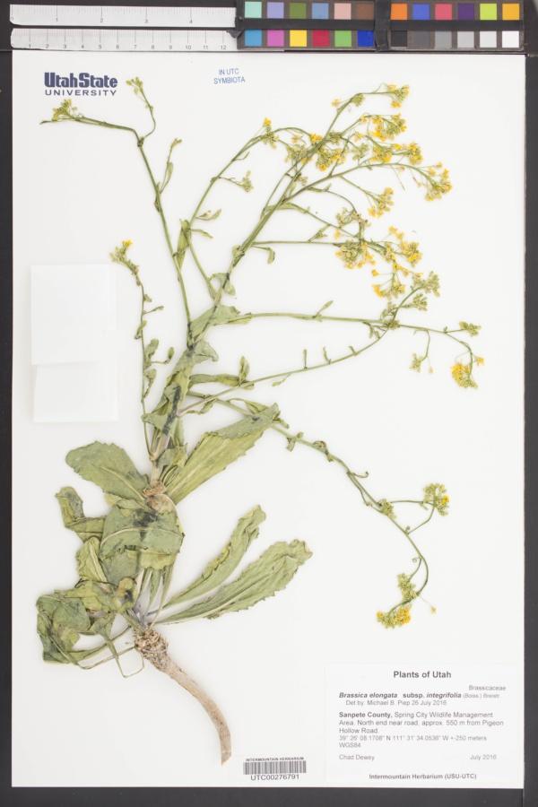 Brassica elongata subsp. integrifolia image