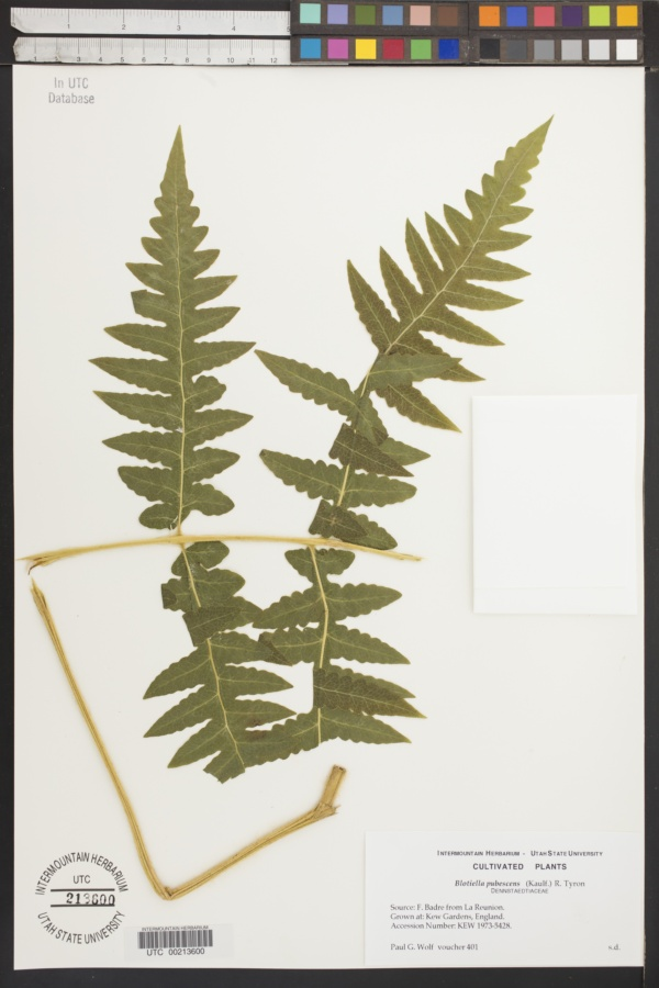 Blotiella pubescens image