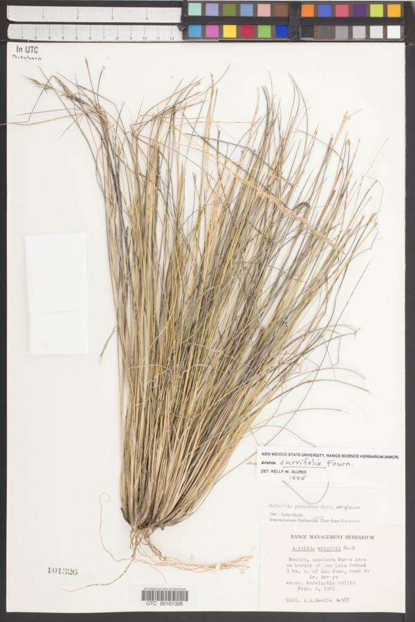 Aristida curvifolia image