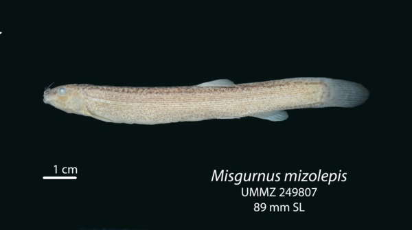 Misgurnus mizolepis image