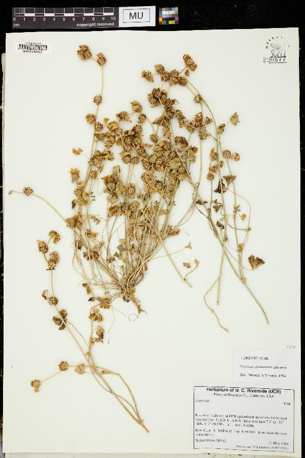 Trifolium glomeratum image