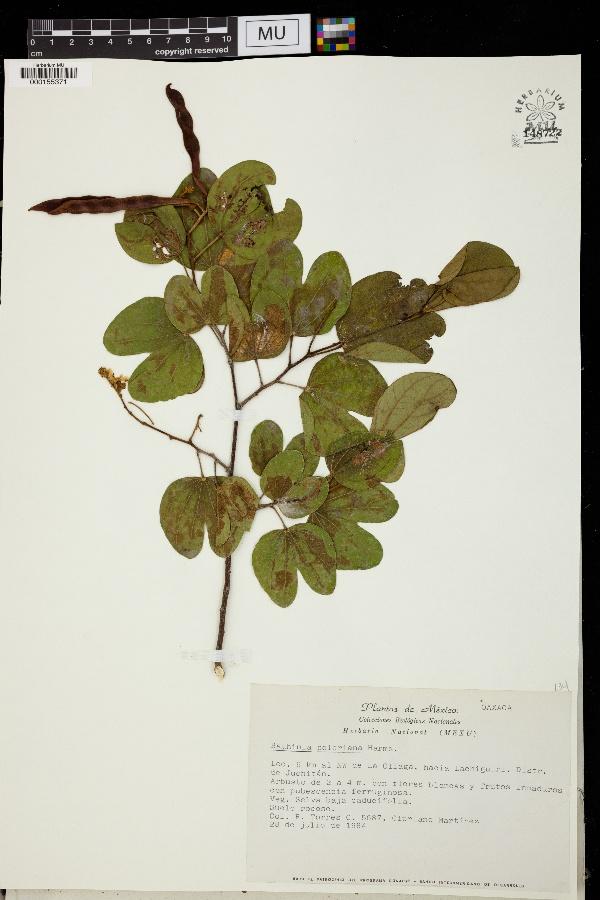 Bauhinia seleriana image