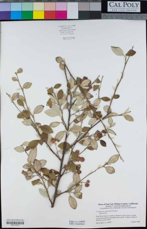 Cotoneaster image