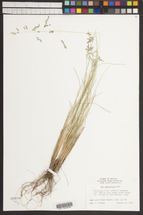 Poa asperifolia image