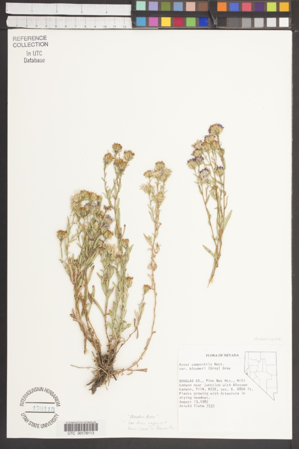 Aster campestris var. bloomeri image