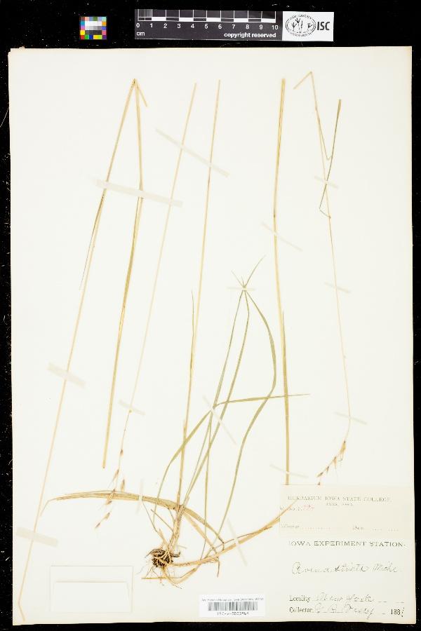 Danthonia alpina image