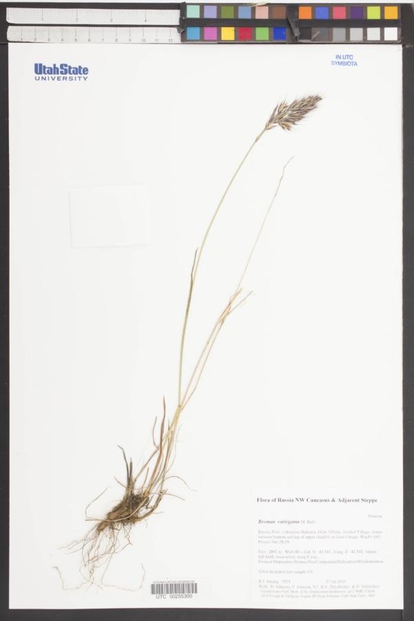 Bromus variegatus image
