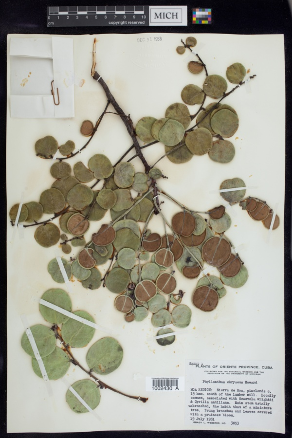 Phyllanthus chryseus image