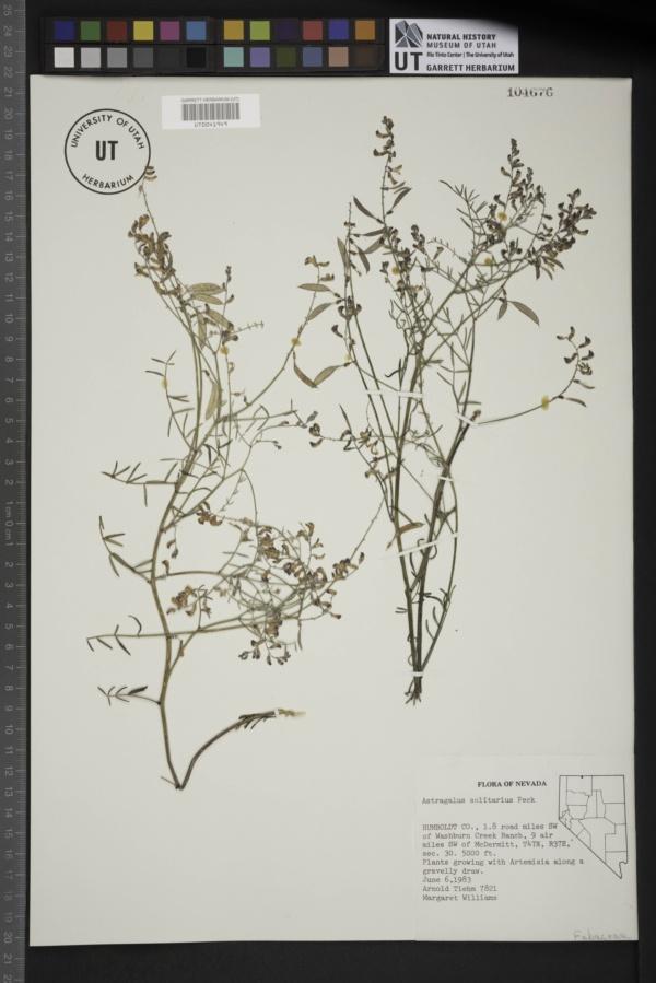 Astragalus solitarius image