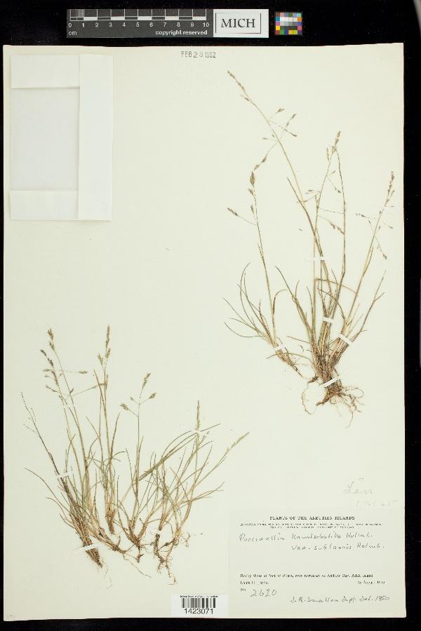 Puccinellia kamtschatica image