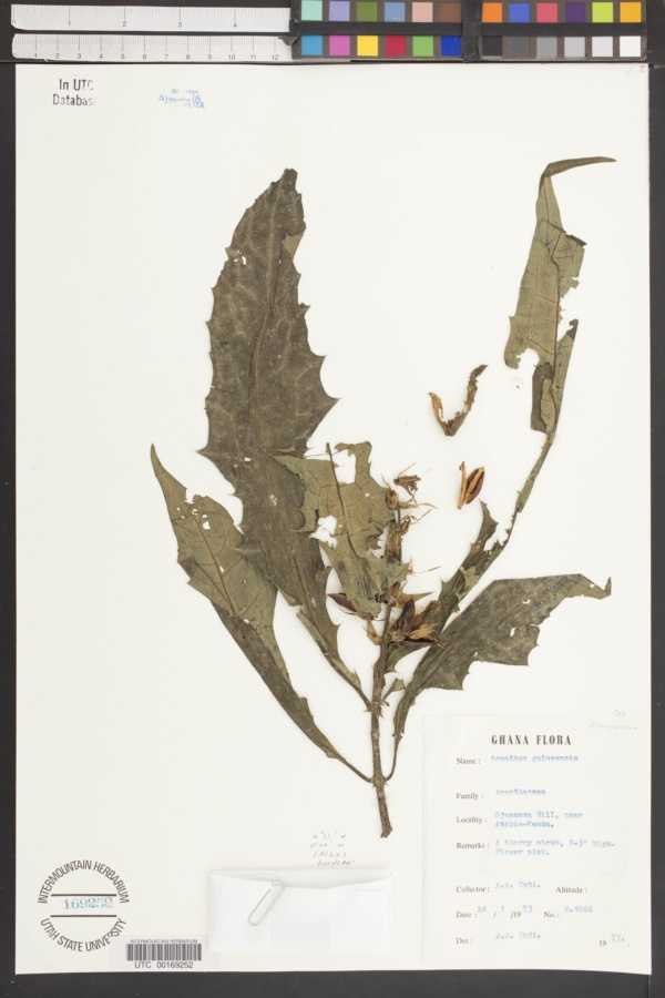Acanthus guineensis image