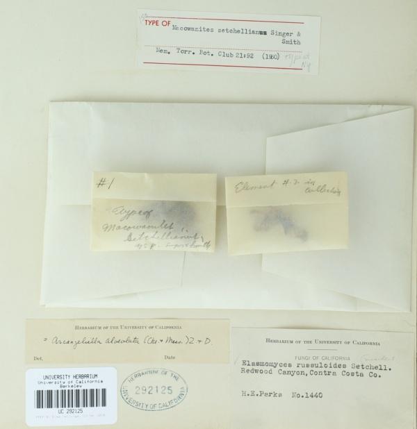 Macowanites setchellianus image
