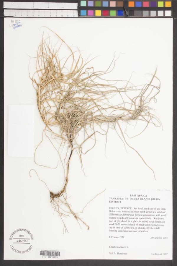 Pennisetum ciliare var. ciliare image