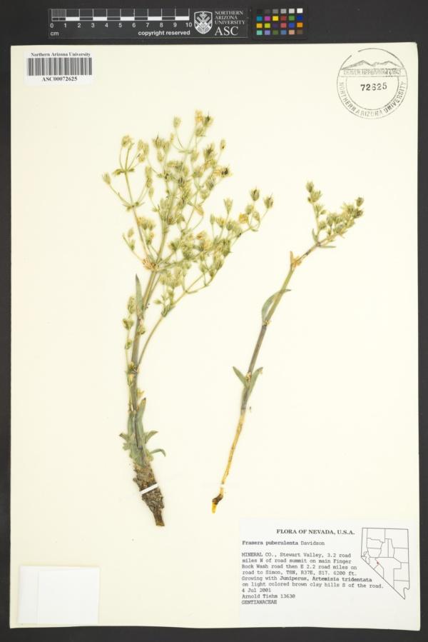 Swertia puberulenta image