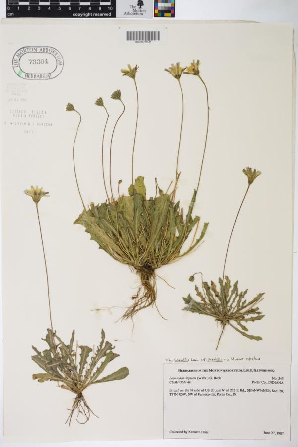 Leontodon saxatilis image