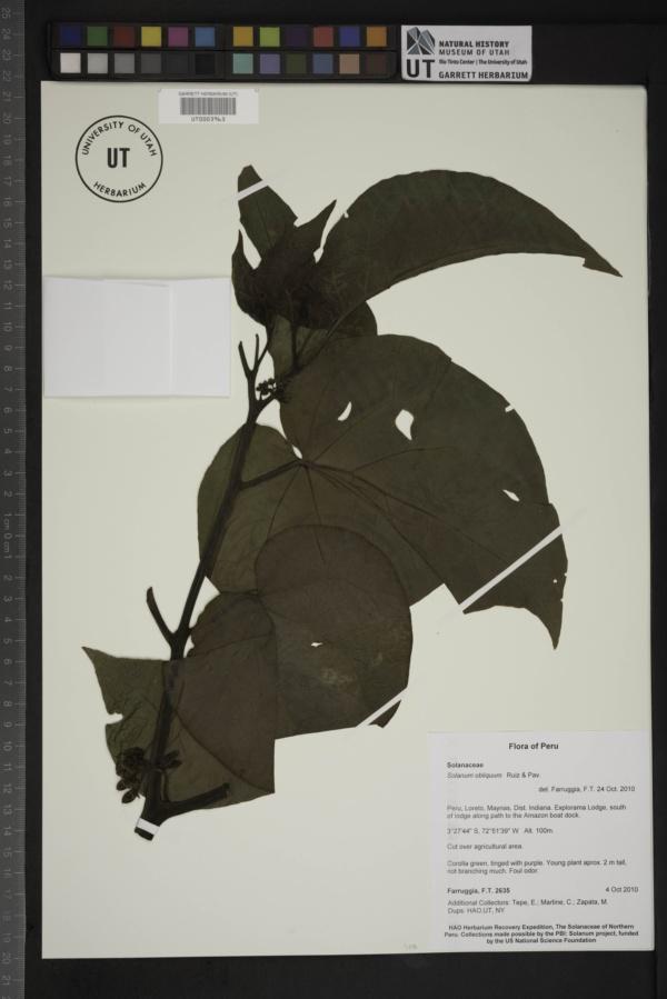 Solanum obliquum image
