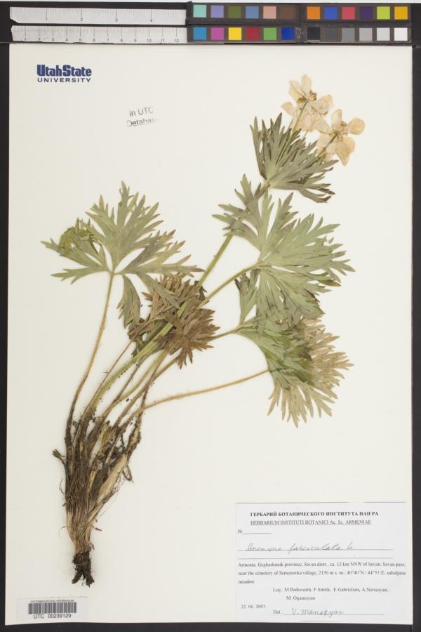Anemone fasciculata image