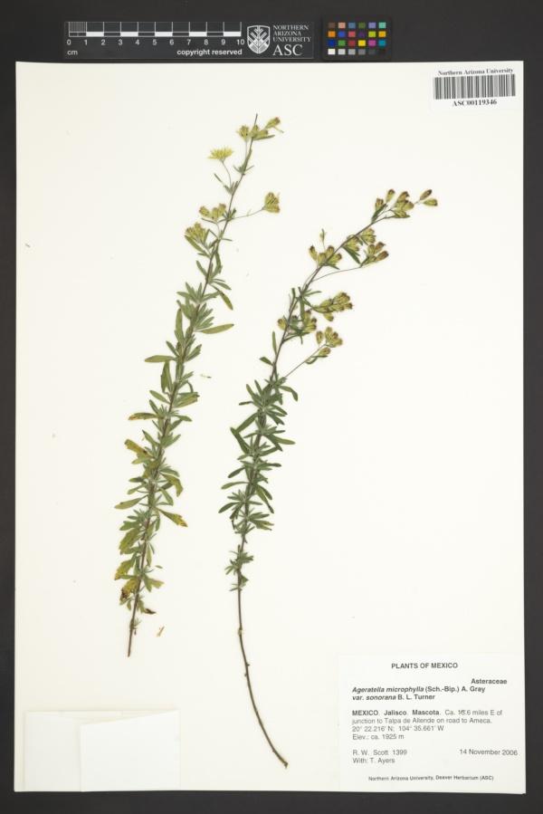 Ageratella microphylla var. sonorana image
