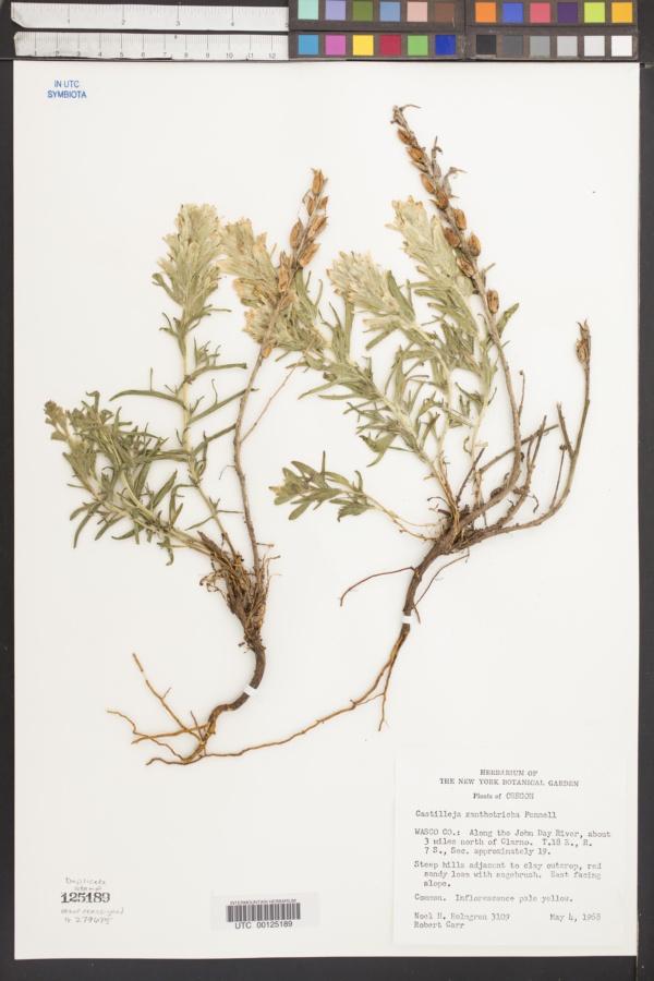 Castilleja xanthotricha image
