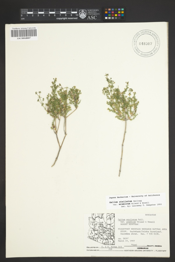 Galium stellatum subsp. eremicum image