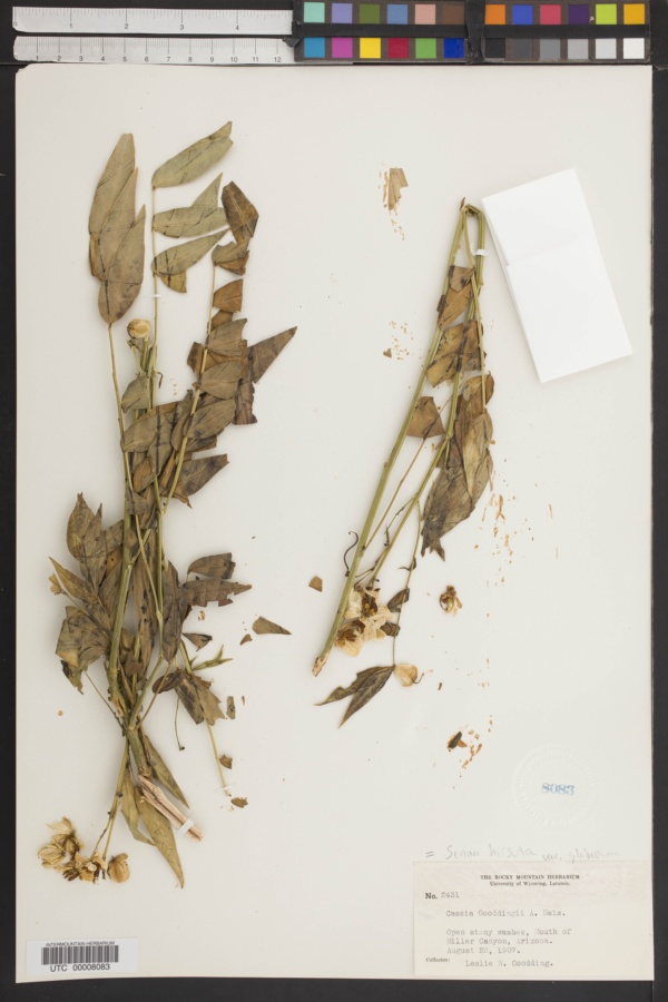 Cassia gooddingii image