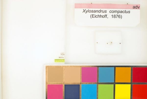 Xylosandrus compactus image