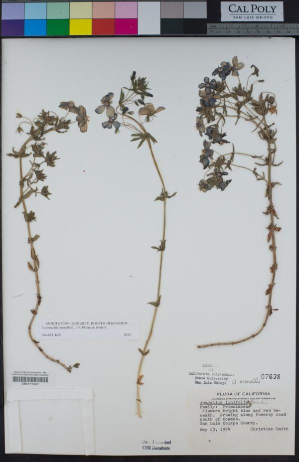 Lysimachia monelli image