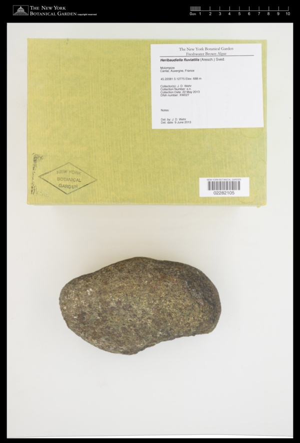 Heribaudiella fluviatilis image
