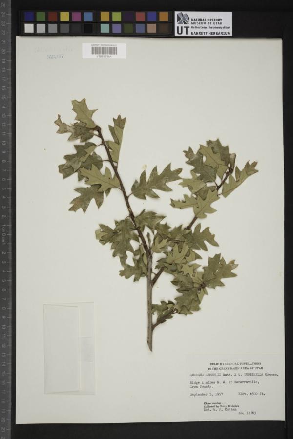 Quercus gambelii X turbinella image