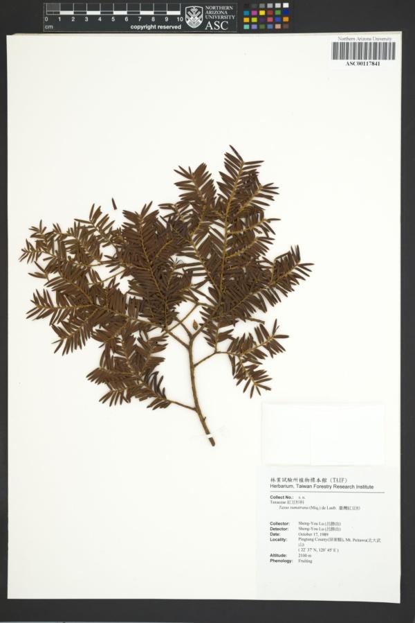 Taxus sumatrana image