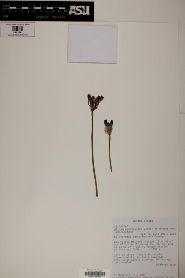 Allium peninsulare var. peninsulare image