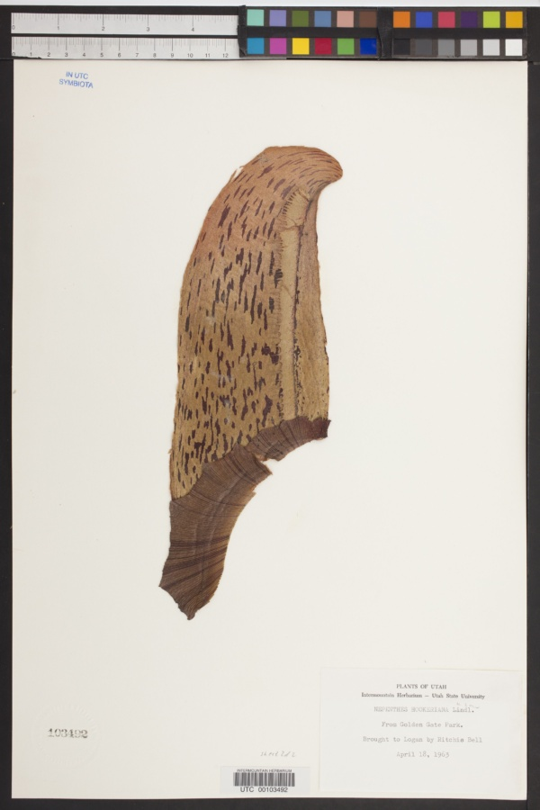 Nepenthes hookeriana image