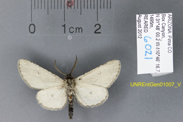 Geometridae image
