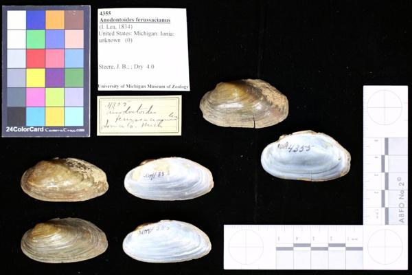 Anodontoides ferussacianus image