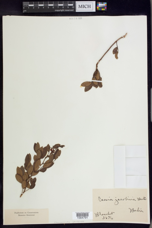 Chamaecrista jacobinea image