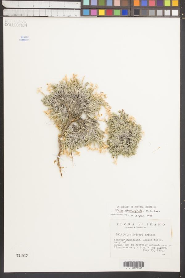 Phlox albomarginata image
