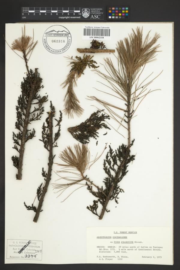 Arceuthobium guatemalense image