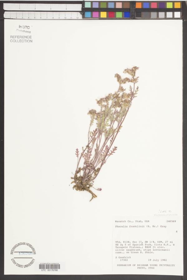 Phacelia franklinii image