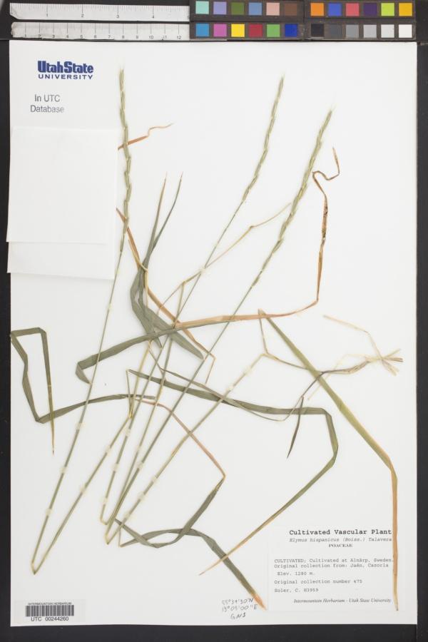Elymus hispanicus image