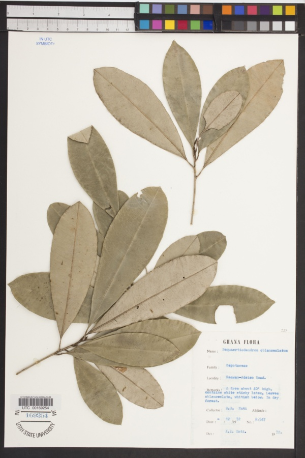 Bequaertiodendron image