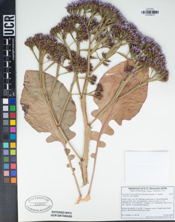 Limonium brassicifolium image
