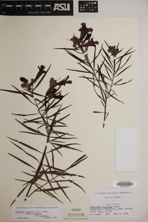 Chilopsis linearis subsp. linearis image