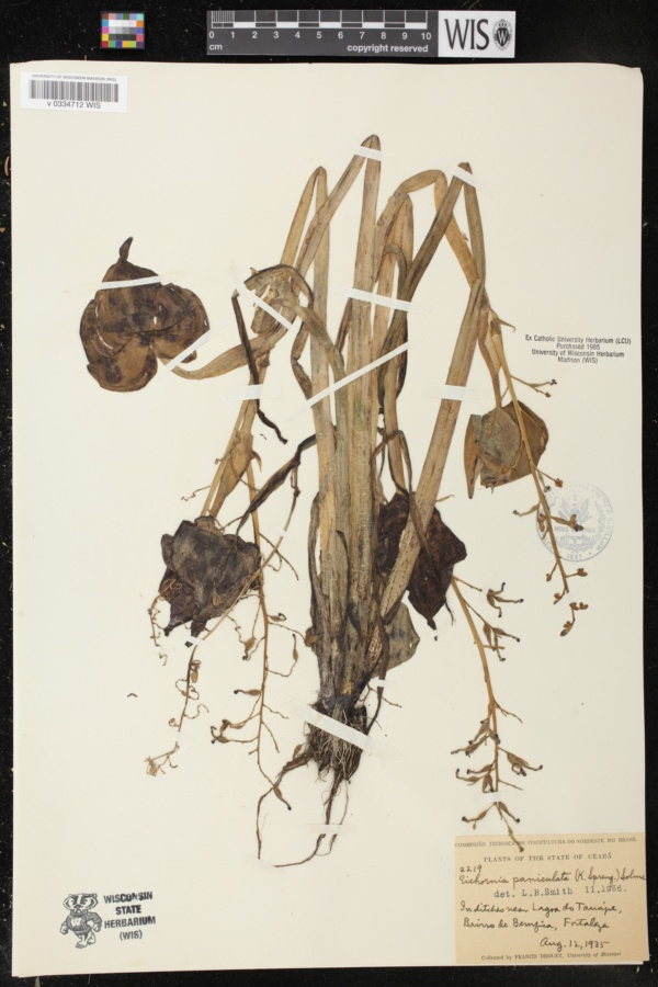 Eichhornia paniculata image